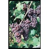 Garden State Bulb 1-Pack Reliance Seedless Grape Small Fruit (L1201)