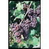 Garden State Bulb 1-Pack Reliance Seedless Grape Small Fruit (L1201)