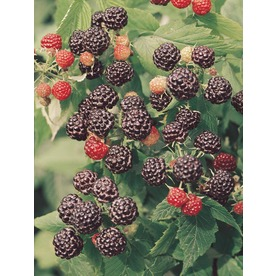 Garden State Bulb 1-Pack Jewel Raspberry Small Fruit (L11329)