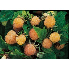 Garden State Bulb Kiwigold Raspberry (L10547A)