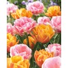 Garden State Bulb 15-Pack Angelique and Freeman Tulip Bulbs
