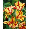 Garden State Bulb 15-Pack Flaming Parrot Tulips