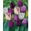 Garden State Bulb 35-Pack Purple Blend Tulip Bulbs
