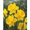 Garden State Bulb 8-Pack Gigantic Star Daffodils