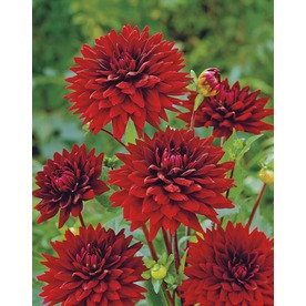 Garden State Bulb 2-Pack Black Wizard Cactus Dahlia (LB22085)
