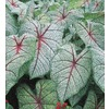 Garden State Bulb 5-Pack White Queen Caladium (L21472)