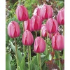 Garden State Bulb 10-Pack Tulip Pink Impression