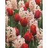 Garden State Bulb 35-Pack Tulip and Hyacinth Collection Bulbs
