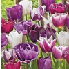 Garden State Bulb 40-Pack Purple Delight Tulip Collection Bulbs