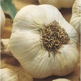 Garden State Bulb 4-Pack Garlic Plant (L20406)