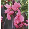 Garden State Bulb 4-Count Rhodos Canna Lily Bulbs