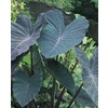 Garden State Bulb Black Magic Elephant Ear Bulbs