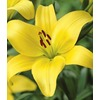 Garden State Bulb 2-Count Gironde Lily Bulbs