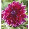 Garden State Bulb 2-Count Mero Star Dahlia Bulbs