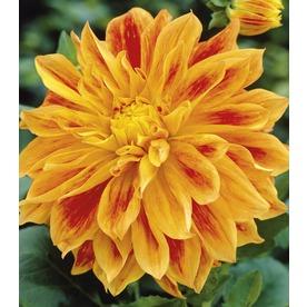 Garden State Bulb 2-Count Sun Explosion Dahlia Bulbs