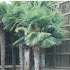 1.75-Gallon Chinese Windmill Palm (L8803)