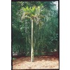 24.5-Gallon Adonidia Palm (L14490)