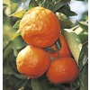 43.5-Gallon Satsuma Tangerine Tree (LW02828)
