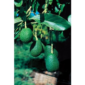  10.25-Gallon Avocado (L5894)