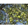 1.72-Gallon Manzanillo Olive Tree (L23472)
