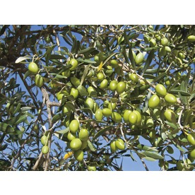 1.72-Gallon Mission Olive (L23471)