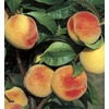 1.72-Gallon Babcock Peach Tree (L11890)
