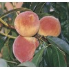 1.72-Gallon Red Baron Peach Tree (L11874)