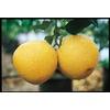 3.25-Gallon Chandler Semi-Dwarf Pummelo Tree (LW01372)