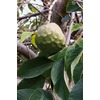 3.4-Gallon Cherimoya Tree (LW04128)