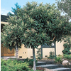  3.25-Gallon Japanese Loquat (L4712)