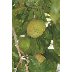 3.25-Gallon Suebelle Sapote (LW01368)