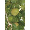 3.4-Gallon Suebelle Sapote Tree (LW01368)