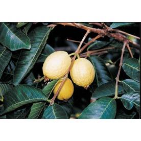 3.4-Gallon Tropic Pink Guava Tree (L11877)