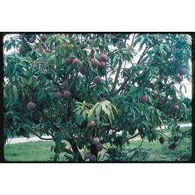  3.25-Gallon Mango (L7606)