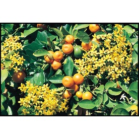  3.4-Gallon Calamondin Orange (L5172C&amp;M)