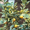 3.4-Gallon Variegated Semi-Dwarf Calamondin Tree (LW01373)