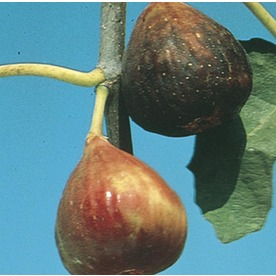  3.4-Gallon Fig (L5982)