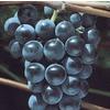 3.4-Gallon Grape Small Fruit (L6358)