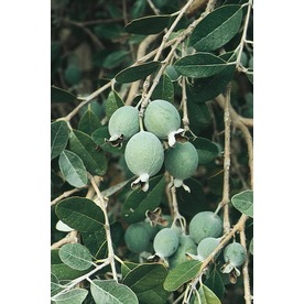 3.4-Gallon Bush Pineapple Guava Small Fruit (LW00040)