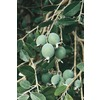 3.4-Gallon Bush Pineapple Guava (LW00040)