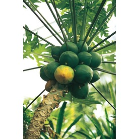1.72-Gallon Papaya Tree (L14496)