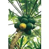 1.72-Gallon Papaya (L14496)