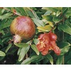 3.4-Gallon Pomegranate Tree (L7402)