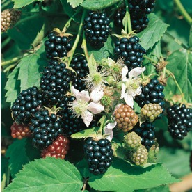 1.72-Gallon Blackberry Small Fruit (L5825)