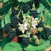 1.72-Gallon Blackberry Small Fruit (L5825)