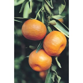 3.4-Gallon Tangelo Tree (L4687)