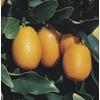 11-Gallon Semi-Dwarf Kumquat Tree (L6107)