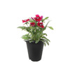 10-oz Temporary Container Annuals