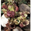  3.0 QT PITCHER PLANT H/B