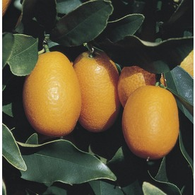 3.58-Gallon Semi-Dwarf Kumquat Tree (L6107)
